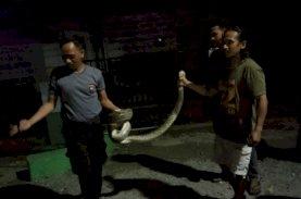 Aksi Heroik Brimob Bone Tangkap Ular Piton di Area Pemukiman Warga